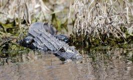 Alligatore americano, riserva del cittadino della palude di Okefenokee Fotografia Stock