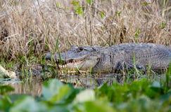 Alligatore americano, riserva del cittadino della palude di Okefenokee Immagini Stock