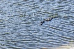 Alligatore americano in secca Fotografia Stock