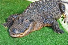 Alligatore americano su erba Immagine Stock