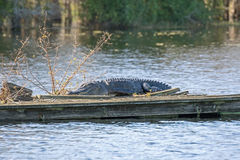 Alligatore americano su una zattera Immagini Stock Libere da Diritti
