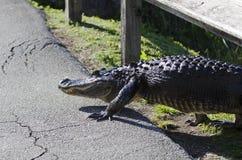 Alligatore americano sulla missione Fotografie Stock Libere da Diritti