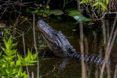 Alligatore americano, terreni paludosi Fotografia Stock Libera da Diritti