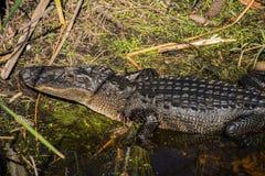 Alligatore bagnato brillante Fotografia Stock Libera da Diritti