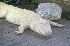 Alligatore bianco Immagine Stock