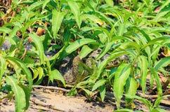 Alligatore cammuffato fra le piante verdi Fotografia Stock