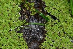 Alligatore cammuffato spaventoso Fotografie Stock Libere da Diritti