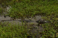 Alligatore in Carlos Pellegrini, Argentina Fotografia Stock