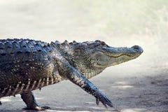 Alligatore che attraversa una traccia Fotografie Stock