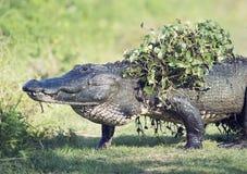 Alligatore che cammina con alcune piante acquatiche sulla sua parte posteriore Fotografia Stock Libera da Diritti