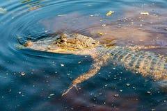 Alligatore che cerca preda nel ramo paludoso di fiume della Luisiana Fotografia Stock
