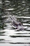 Alligatore che colpisce testa dall'acqua per ottenere un certo sole Fotografia Stock Libera da Diritti