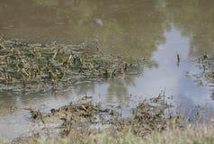 Alligatore che dà una occhiata fuori Fotografia Stock