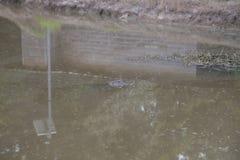 Alligatore che dà una occhiata fuori Immagini Stock Libere da Diritti