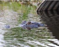 Alligatore che esce il tubo di scarico Fotografia Stock Libera da Diritti