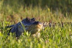 Alligatore che espone al sole nell'erba Fotografia Stock