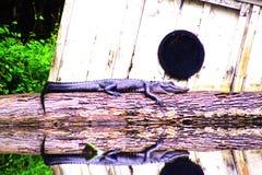 Alligatore che espone al sole sul ceppo con la riflessione nell'acqua Fotografia Stock