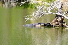 Alligatore che espone al sole sulla radice di vecchio Tree-1 appassito Fotografie Stock