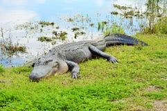 Alligatore che espone al sole vicino ad un lago Fotografia Stock Libera da Diritti