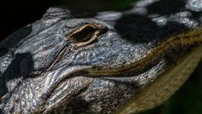 Alligatore che fissa, grande prerogativa nazionale di Cypress, Florida Immagine Stock Libera da Diritti