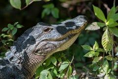 Alligatore che fissa, grande prerogativa nazionale di Cypress, Florida Fotografia Stock