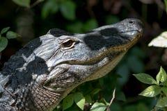 Alligatore che fissa, grande prerogativa nazionale di Cypress, Florida Immagini Stock Libere da Diritti
