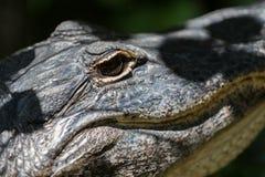 Alligatore che fissa, grande prerogativa nazionale di Cypress, Florida Immagini Stock
