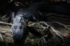 Alligatore che fissa, grande prerogativa nazionale di Cypress, Florida Fotografie Stock
