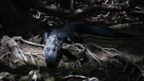 Alligatore che fissa, grande prerogativa nazionale di Cypress, Florida Fotografie Stock Libere da Diritti