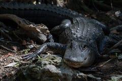 Alligatore che fissa, grande prerogativa nazionale di Cypress, Florida Fotografia Stock Libera da Diritti