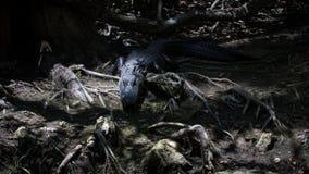 Alligatore che fissa, grande prerogativa nazionale di Cypress, Florida Immagine Stock