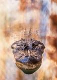 Alligatore che galleggia in acqua Fotografie Stock