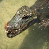 Alligatore che galleggia sull'acqua Fotografie Stock Libere da Diritti