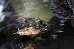 Alligatore che galleggia sull'acqua Fotografia Stock