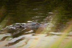 Alligatore che galleggia vicino Fotografia Stock Libera da Diritti