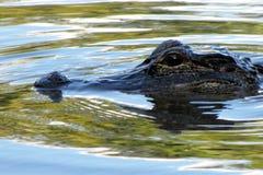 Alligatore che gira la palude Fotografia Stock Libera da Diritti