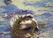 Alligatore che mangia un grande pesce Immagine Stock