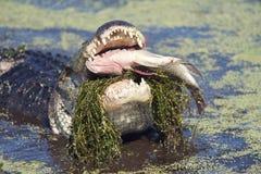 Alligatore che mangia un pesce Fotografie Stock