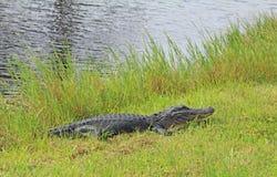 Alligatore che mette su erba Fotografia Stock