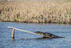 Alligatore che mette su una passeggiata del bordo sviluppata per gli alligatori Immagine Stock Libera da Diritti