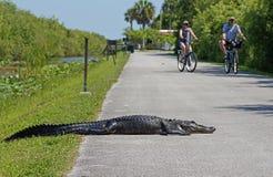 Alligatore che mette sul percorso della bici Immagine Stock