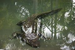 Alligatore che nuota underwater Fotografie Stock
