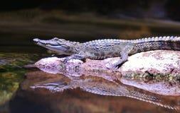 Alligatore che pone con la riflessione dell'acqua Fotografia Stock Libera da Diritti