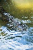 Alligatore che posa primo piano Immagini Stock Libere da Diritti