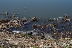 alligatore che prende il sole Fotografie Stock Libere da Diritti