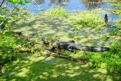 alligatore che prende il sole Immagini Stock