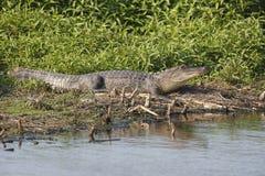 Alligatore che prende il sole al bordo di uno stagno Immagini Stock