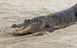 Alligatore che prende il sole al sole nei terreni paludosi di Florida Immagini Stock Libere da Diritti