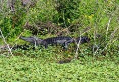 Alligatore che prende il sole nel lago Apopka Fotografie Stock Libere da Diritti