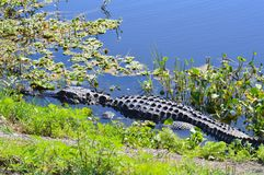 Alligatore che prende il sole nel lago Apopka Fotografia Stock Libera da Diritti